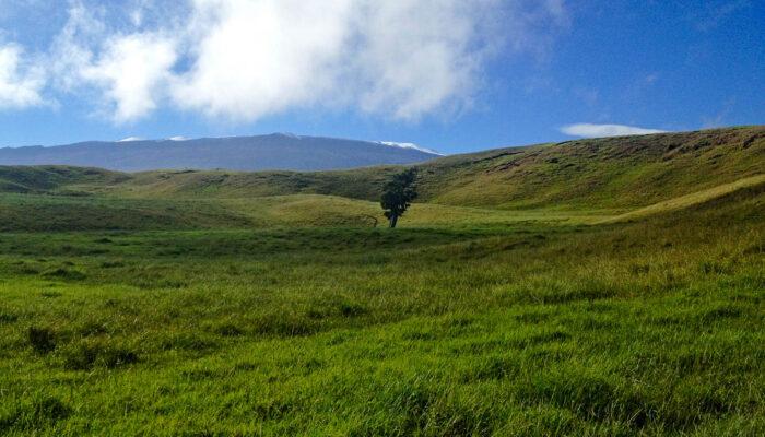 LoneOhia-Tree-at-Honokaia
